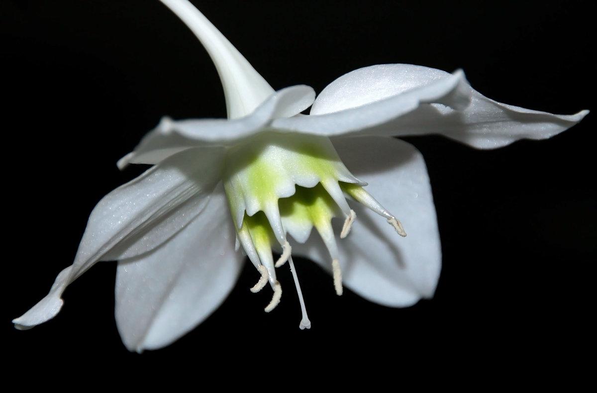 эухарис - амазонская лилия - Alexander
