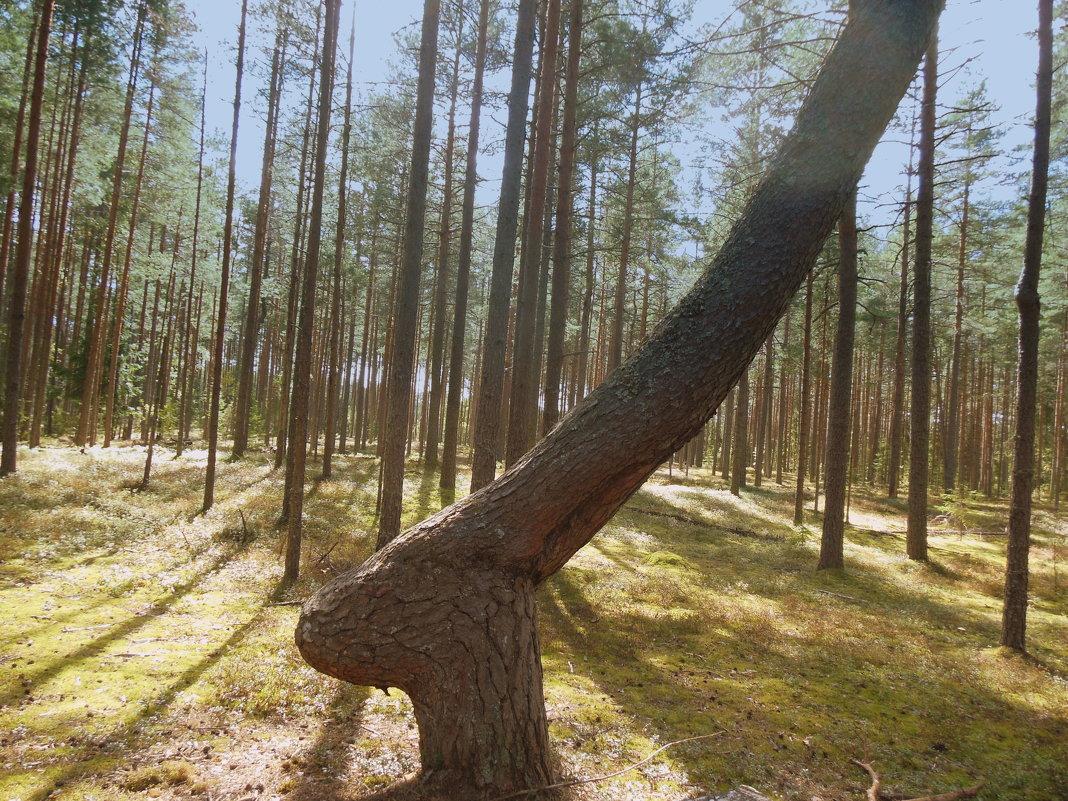 Дерево в лесу. - Татьяна