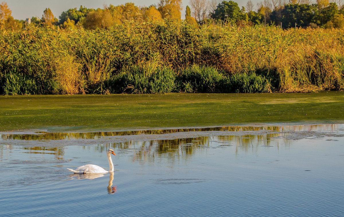 а белый лебедь на пруду..... - олеся тронько