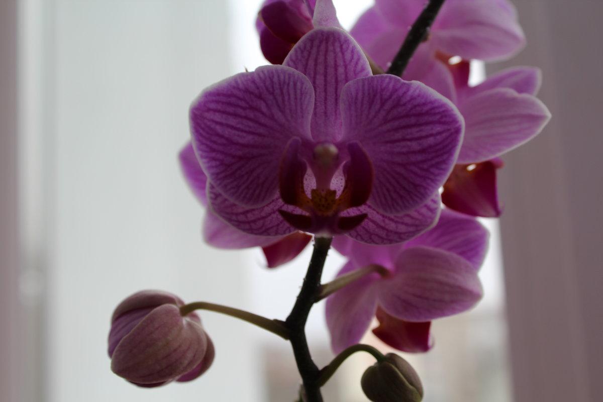 орхидея - Ирэн