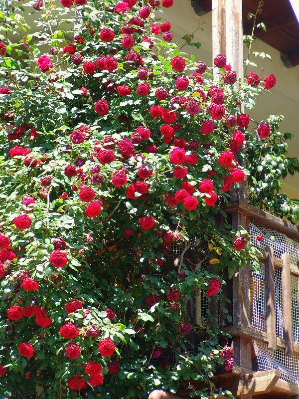 Розы на балконе. :: оля богданович - социальная сеть фотокто.