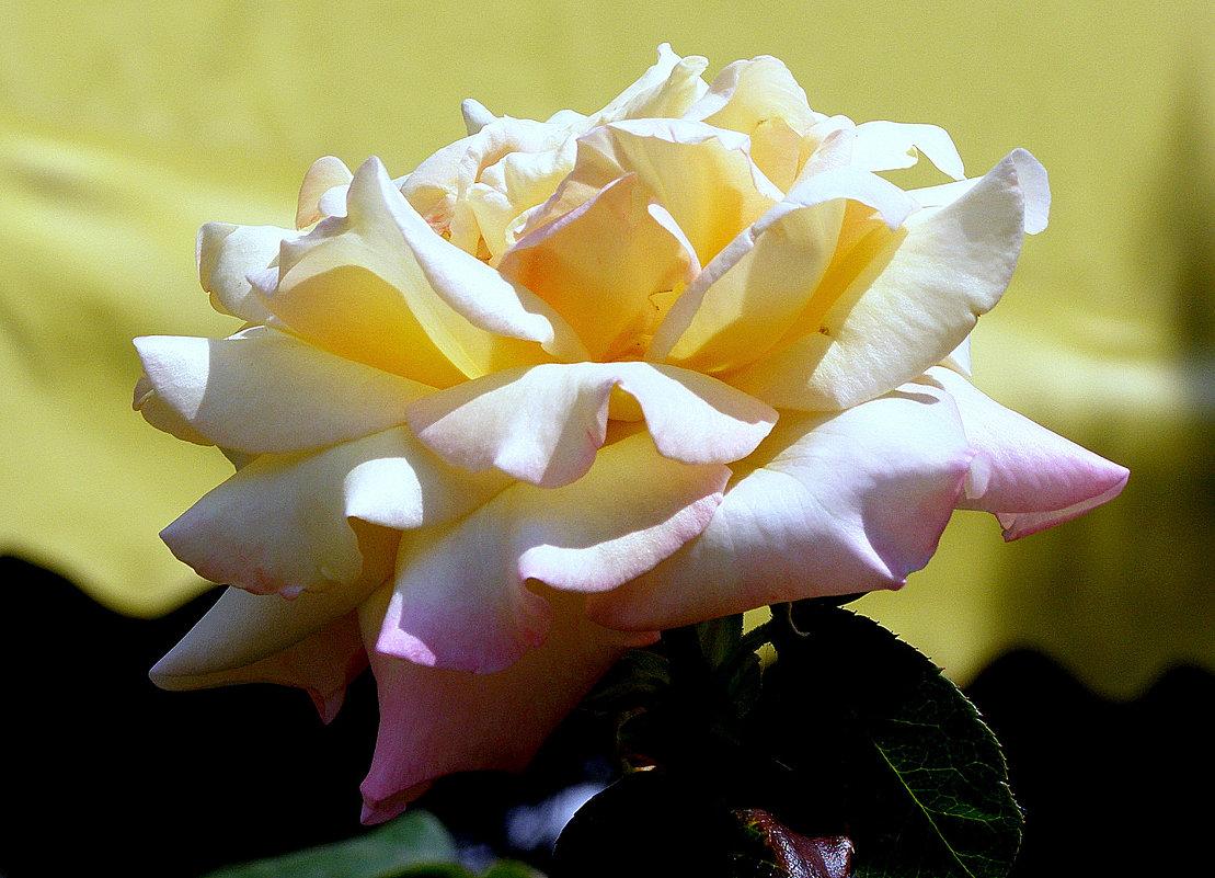 Крымские розы - Ирина Фирсова