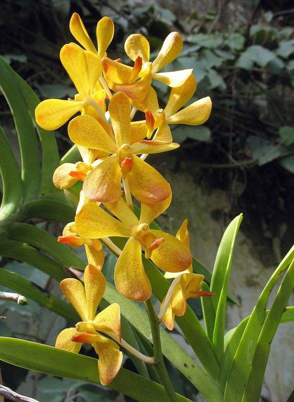 Орхидея - Елена Павлова (Смолова)