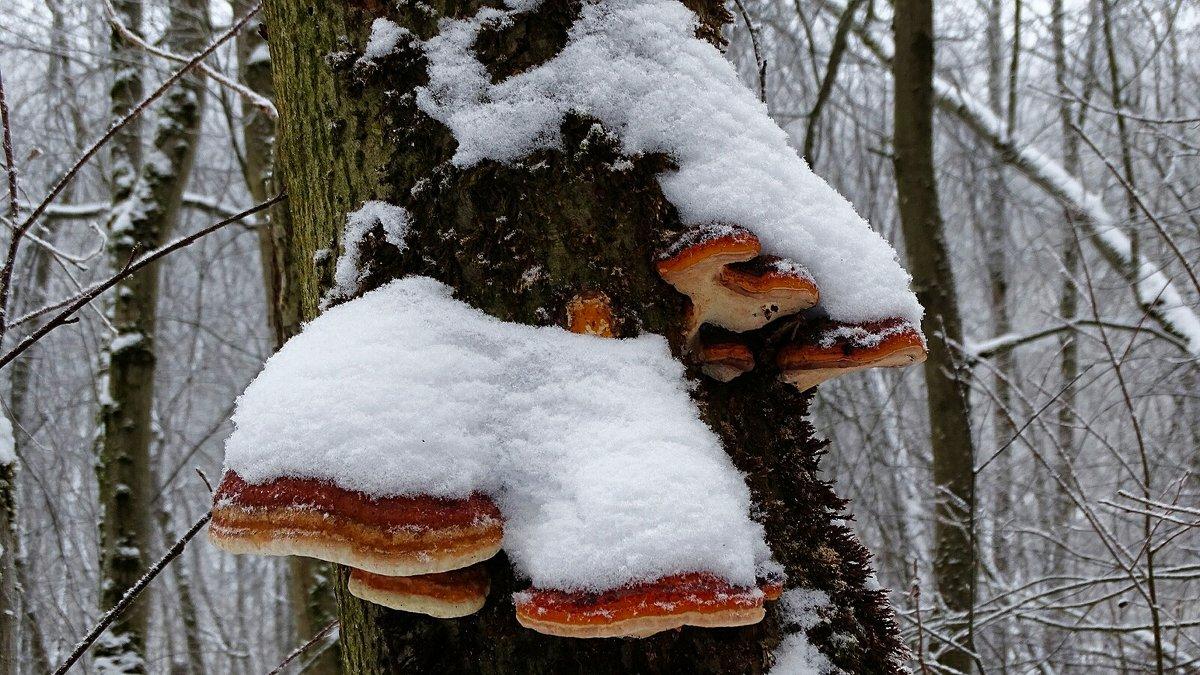 Древесные грибы - Милешкин Владимир Алексеевич