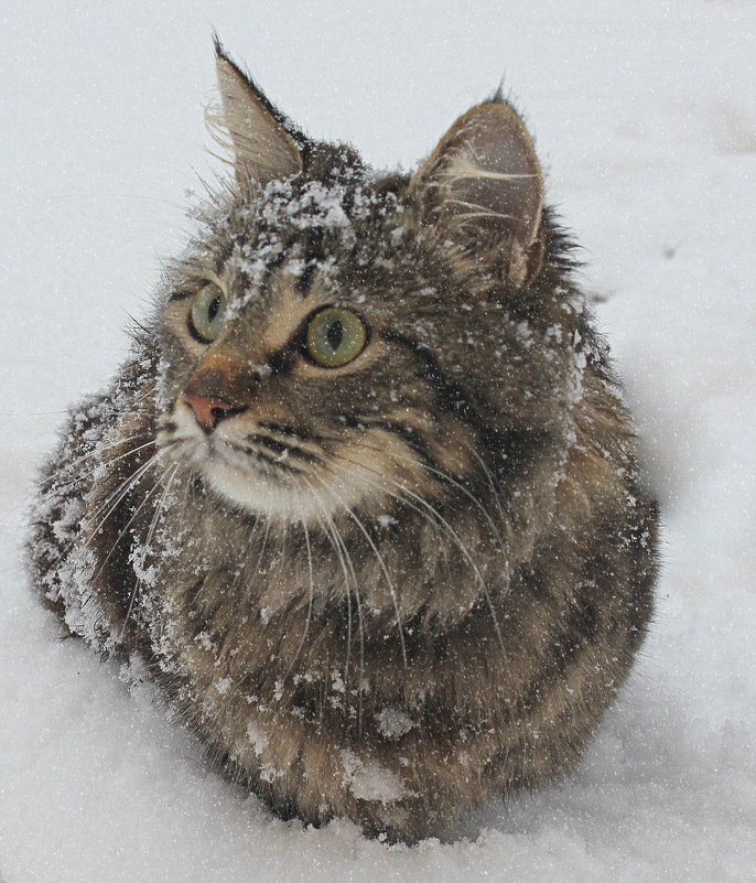 Снежная кошка - оксана косатенко