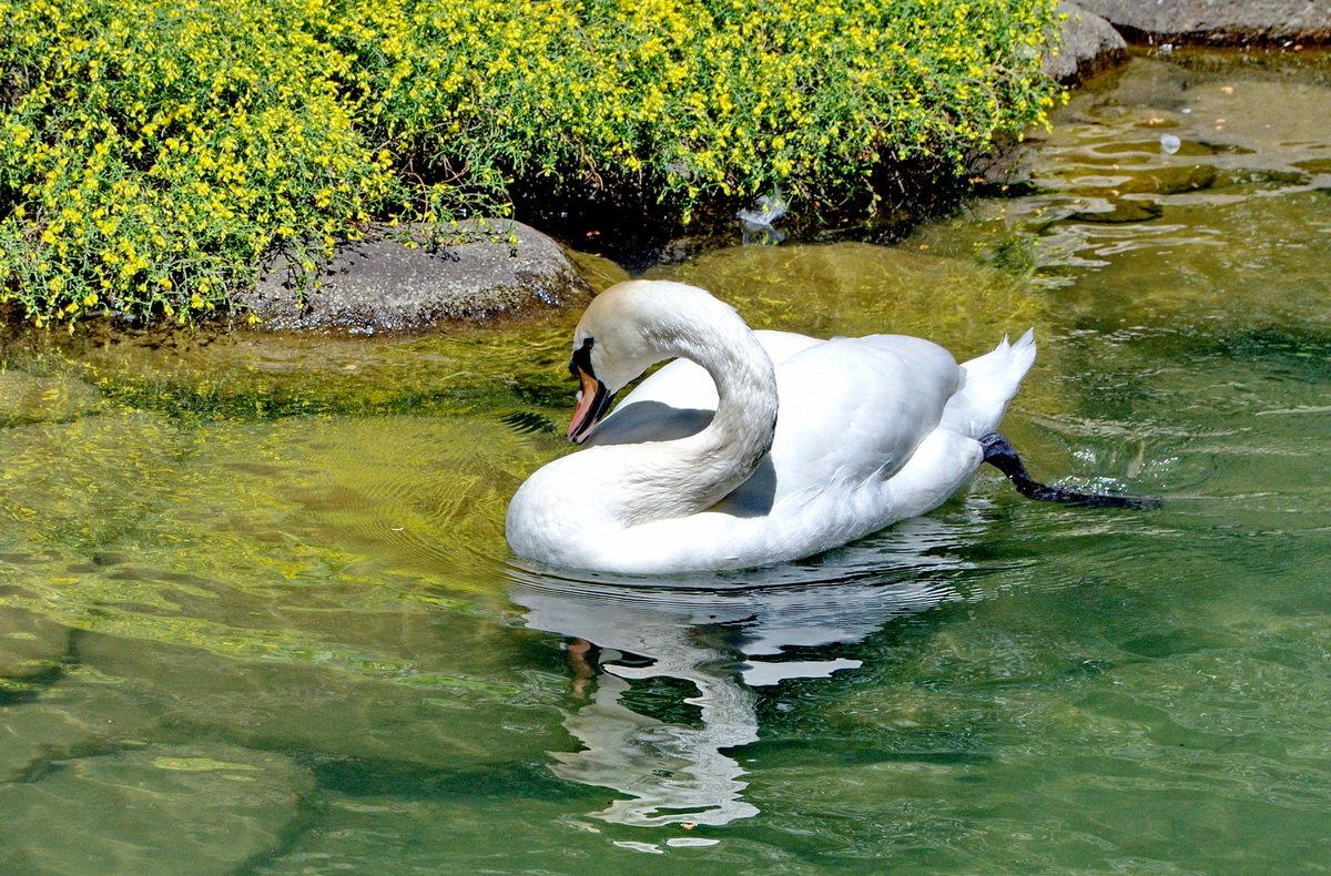 Белый лебедь - Vladimir Lisunov