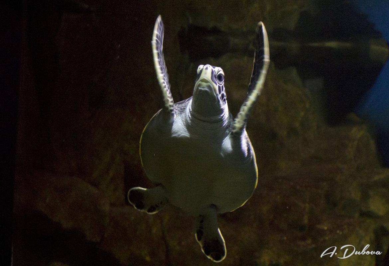 Черепаха - Asya Dubova