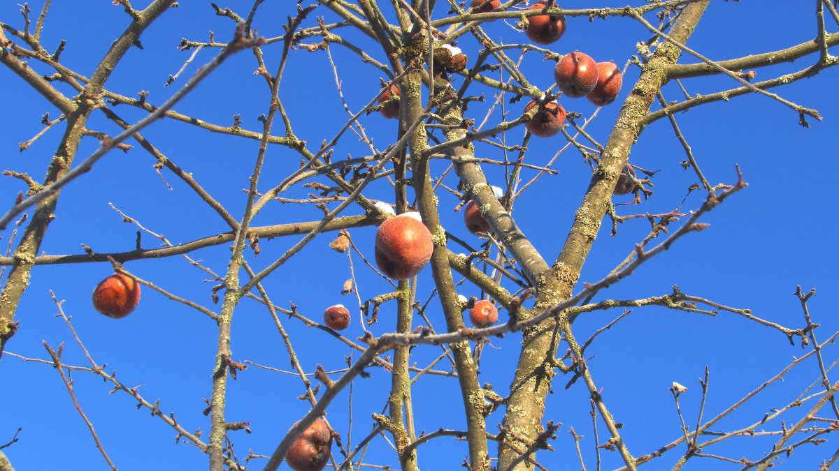 Зимние яблочки - Елена Милая