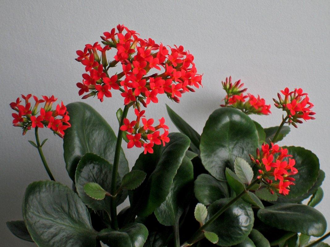 Цветёт каланхоэ - Татьяна Смоляниченко