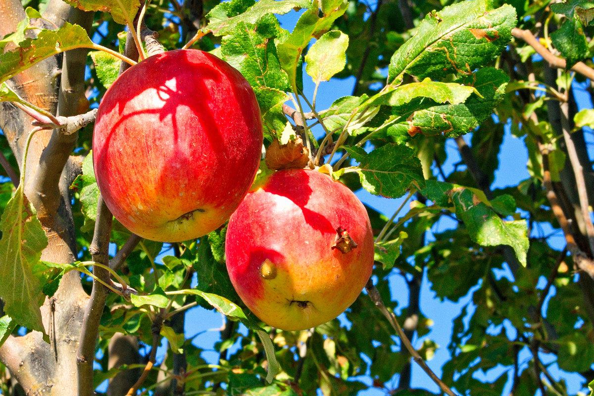 Яблочки. - santamoroz