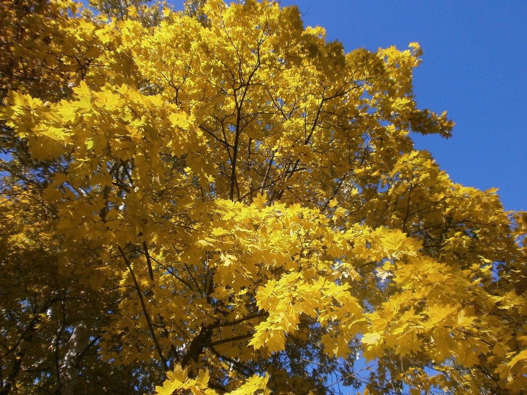 Желтый клен - mAri