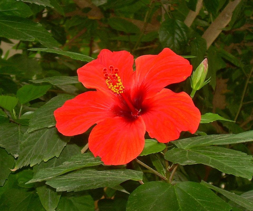 Гибискус или китайская роза - татьяна