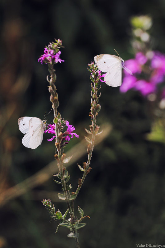 бабочки - Vahe Dilanchyan