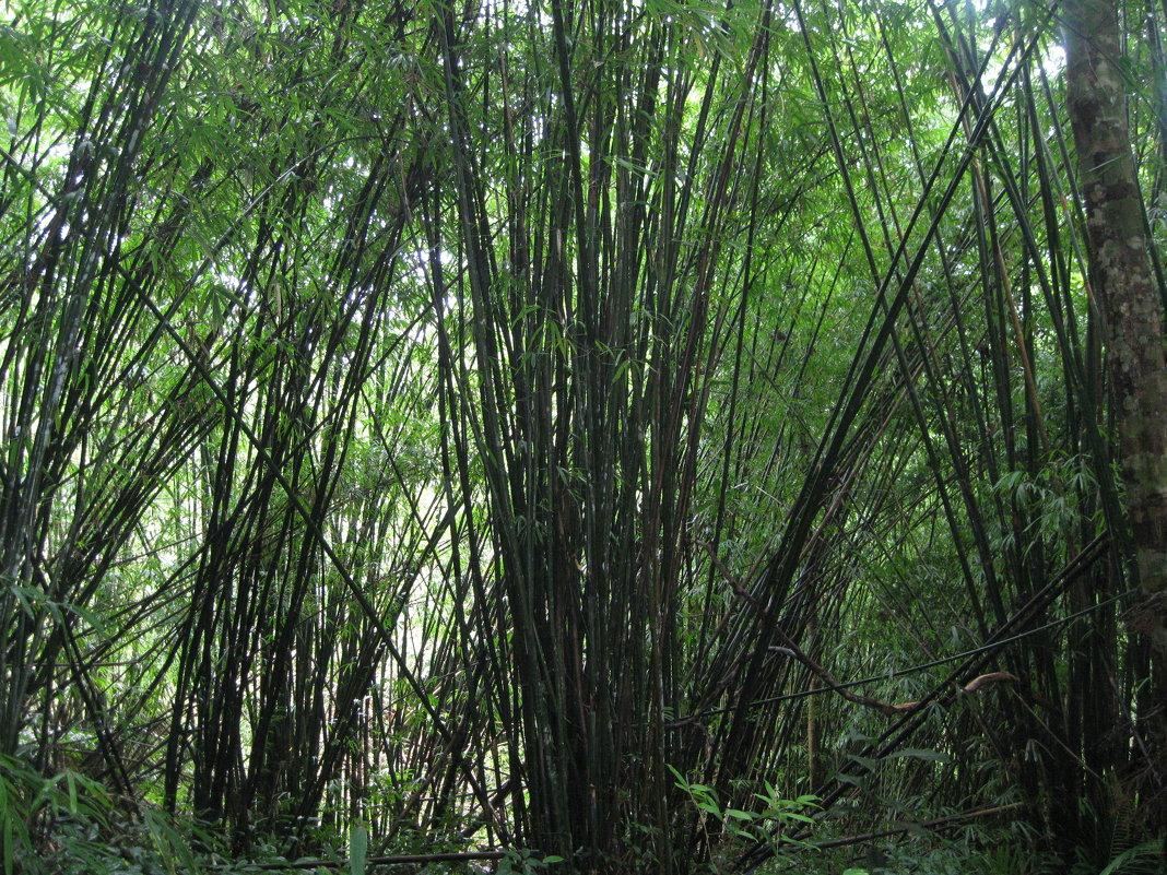 Горные джунгли Ко Чанга. Бамбуковая роща. - Лариса (Phinikia) Двойникова