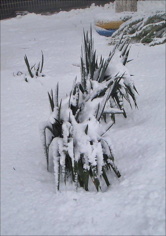 Юкка под снежным одеялом - Нина Корешкова