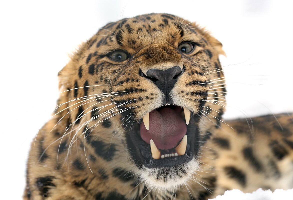 леопард - Михаил Бибичков