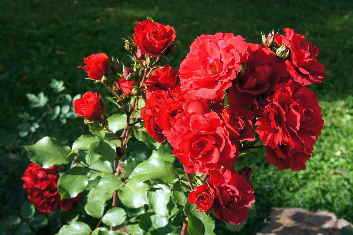 «Осенние розы – прелестные, грустные розы …» - Елена Павлова (Смолова)