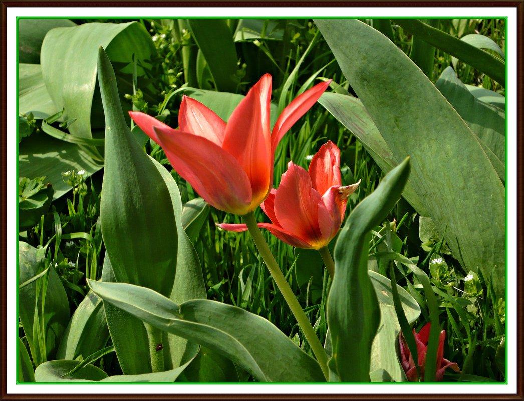 Красные тюльпаны - Надежда
