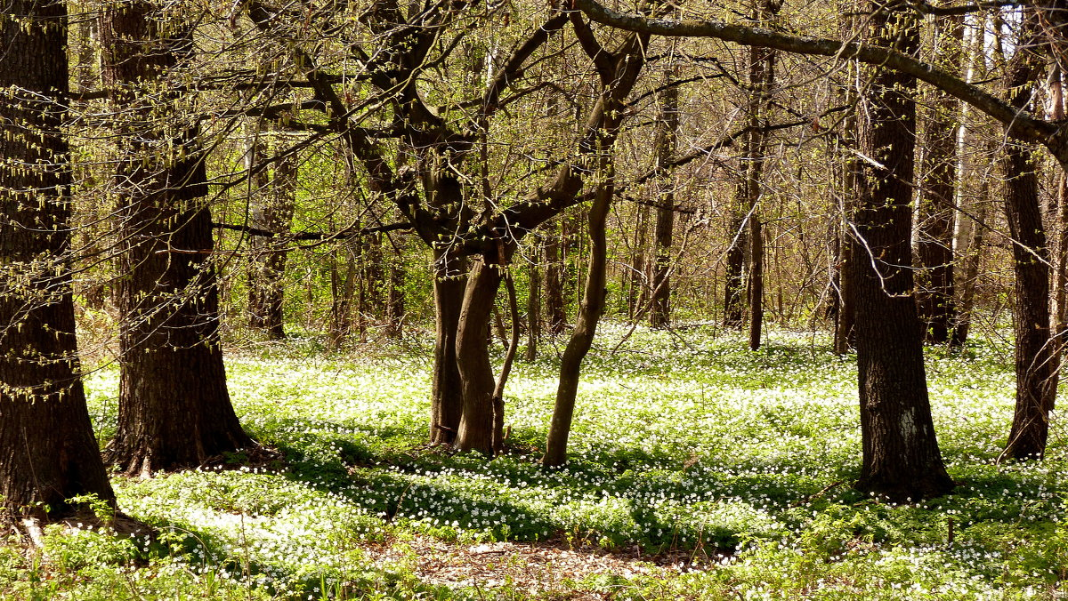 апрельский лес - Александр Прокудин