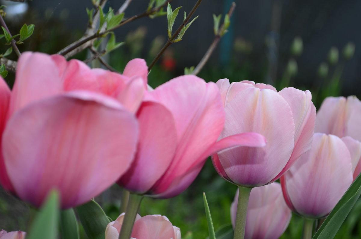 Мои тюльпаны - Наталья Петракова