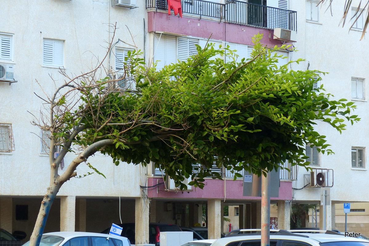 дерево в городе. - Пётр Беркун