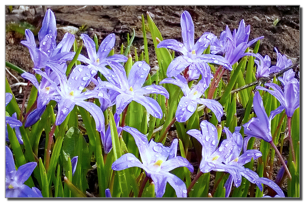 весенние цветы - ВладиМер