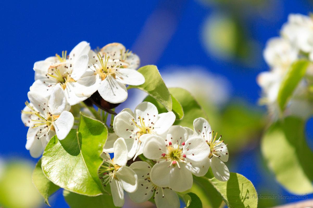 Цвет яблуни - Aleksandr Geraimovich