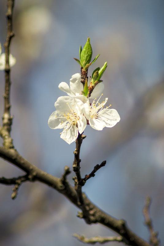 Яблоневый цвет - Анастасия Мойсук