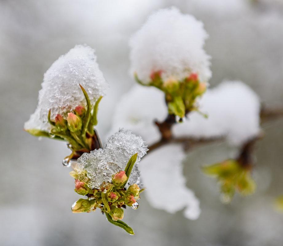 Яблони в снегу... - Вячеслав Овчинников