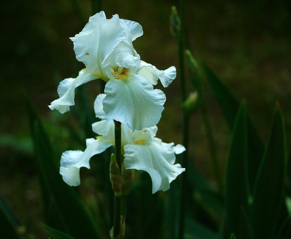 Белые красавцы - Светлана