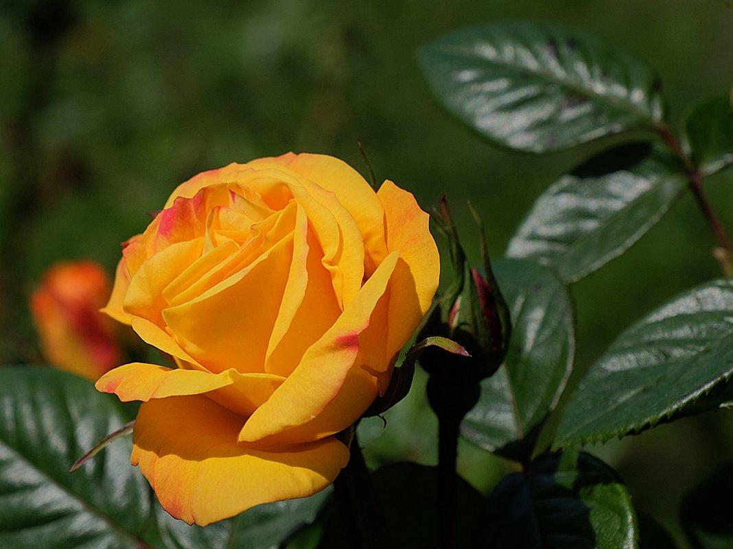 Мистическая красота розы - Swetlana V