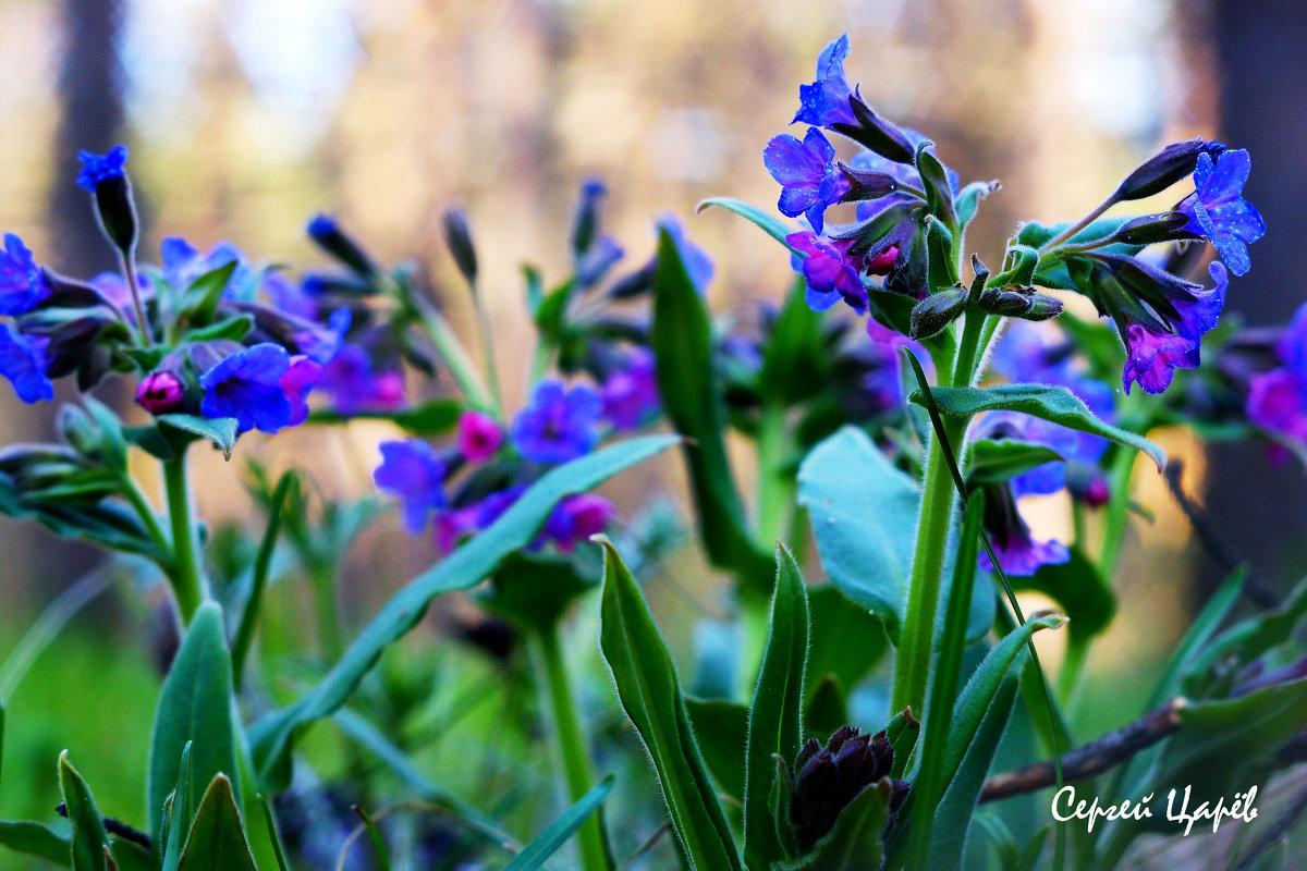 Первоцветы - Сергей Царёв