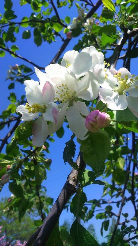 Яблонька цветет ! - Татьяна ❧