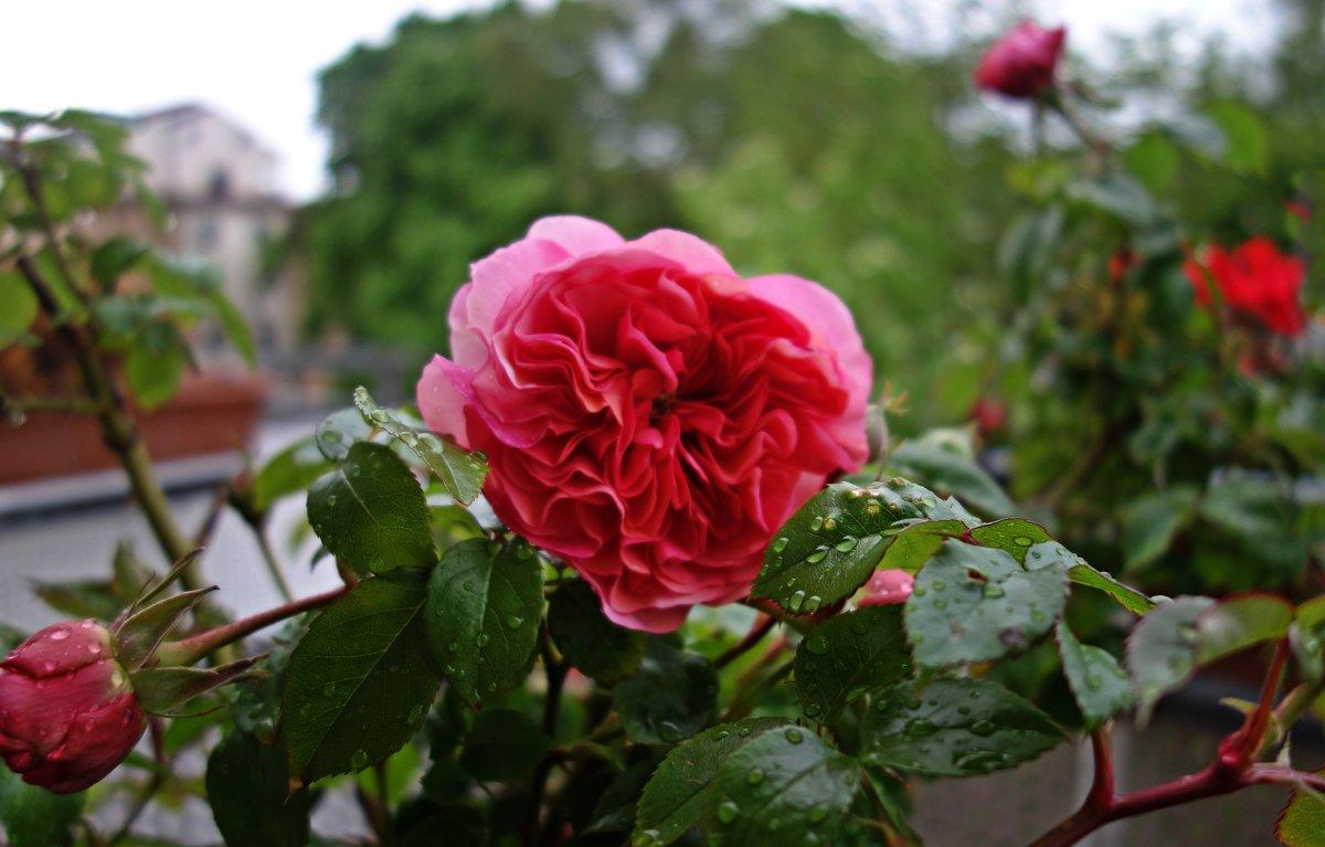 И вновь, зацвели розы на моем балконе!!!...Первая! - Galina Dzubina