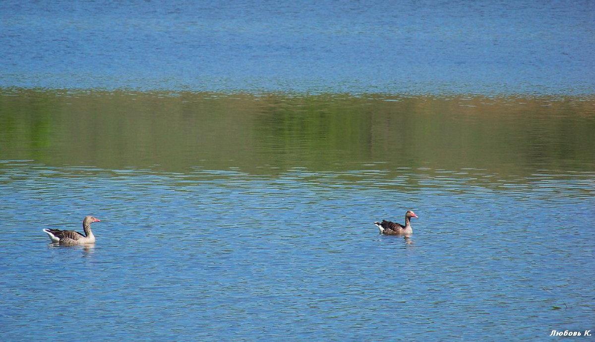 Дикие гуси на пруду.... - Любовь К.