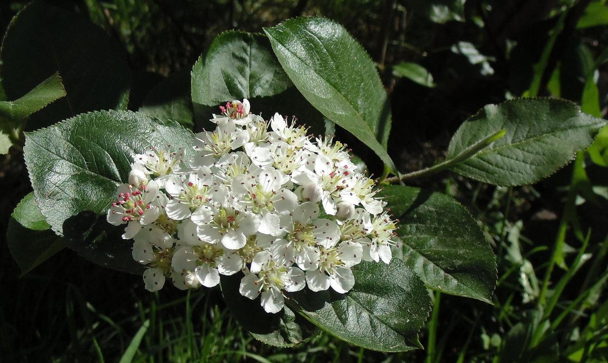 Черноплодная рябина цветёт . - Мила Бовкун