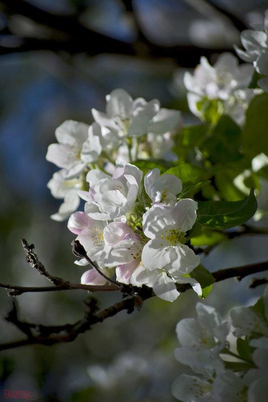 Яблоня в цвету - Totono Dvorov