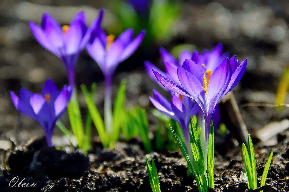 Первоцветы. Крокусы - Olcen - Ольга Лён