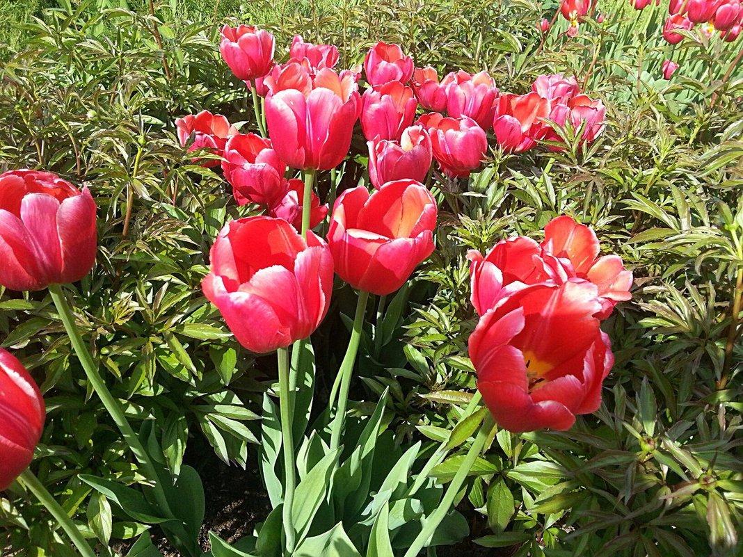 Тюльпаны в Москве - Наталья Владимировна