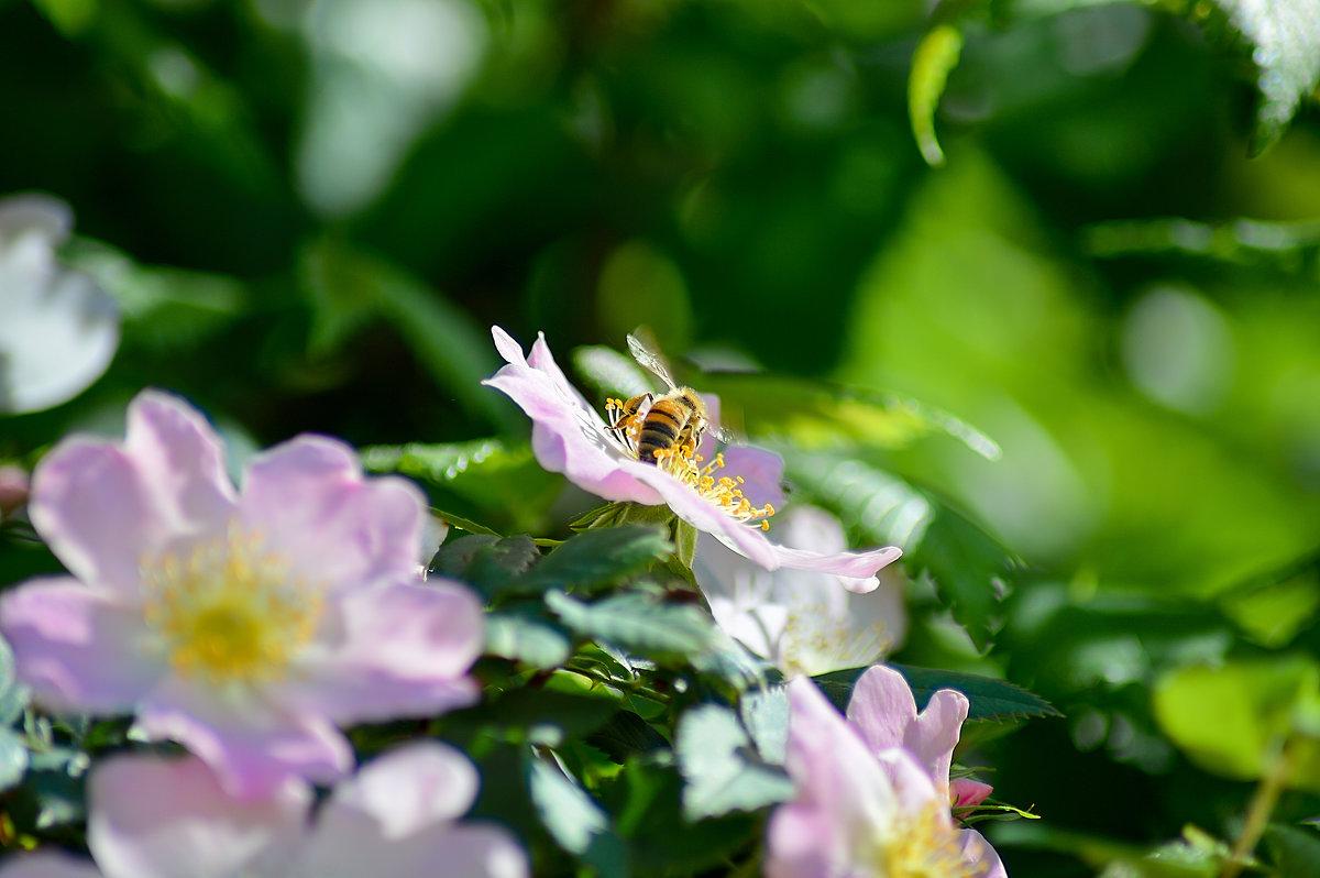 Пчёлка трудится - Елена Нор