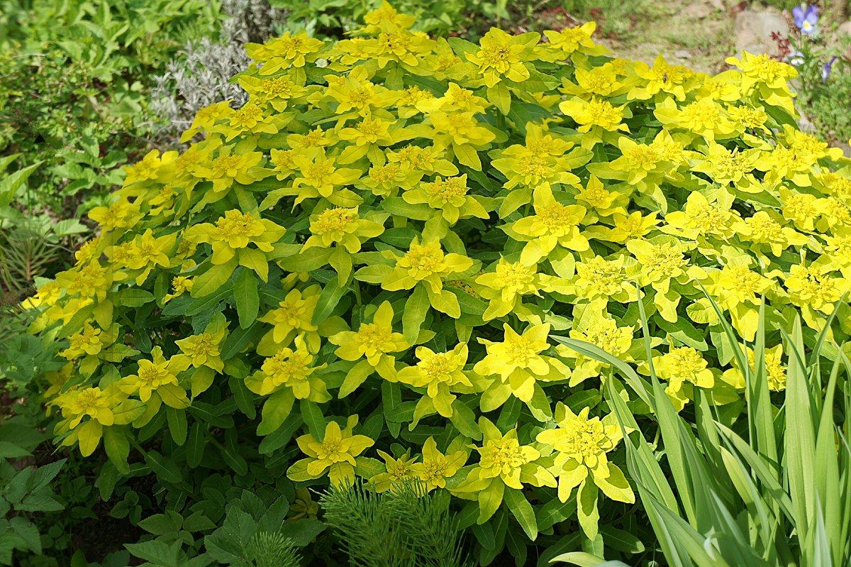 Щедрое цветение .  Euphorbia polychroma (молочай многоцветный) - Елена Павлова (Смолова)