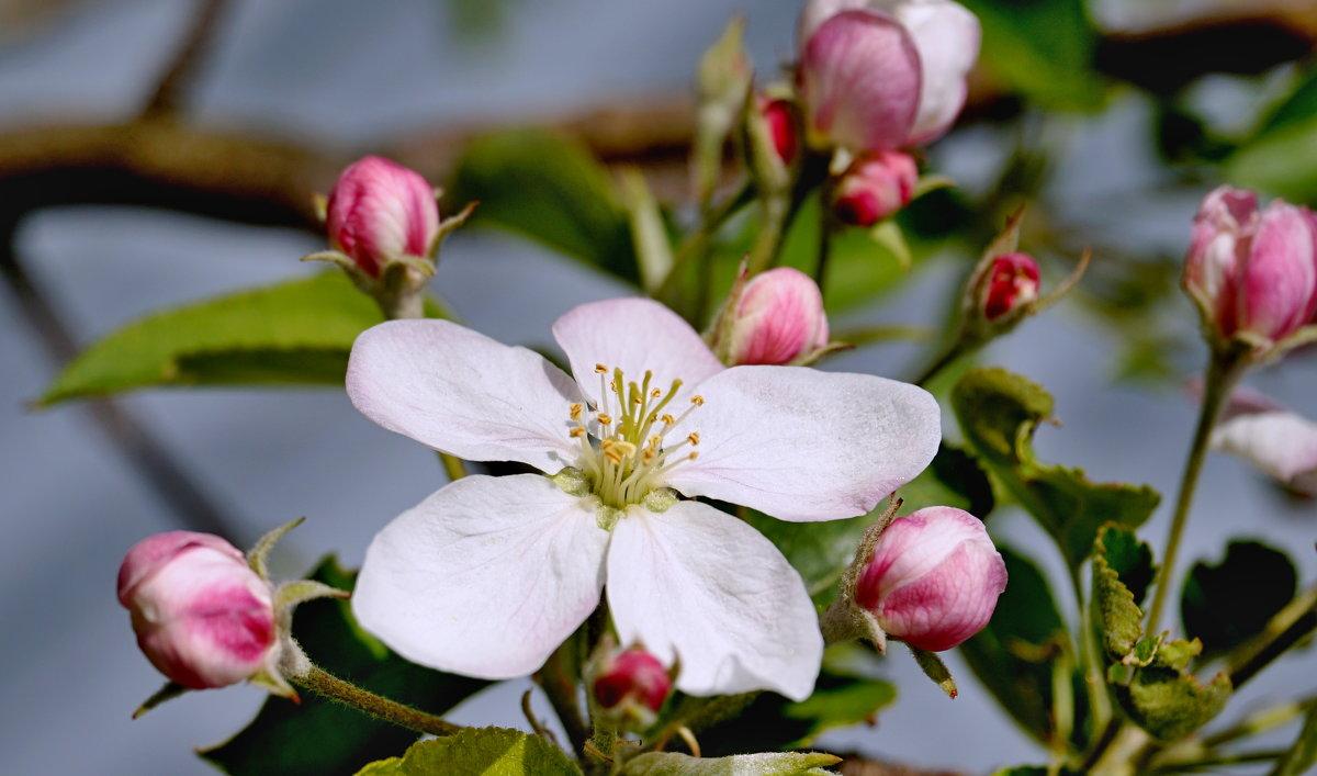 Яблоня цветет - Дмитрий