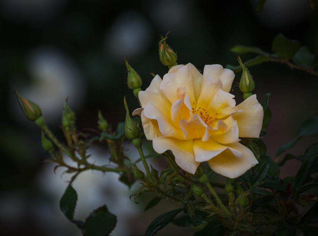 «…Розы желтые- символ надежды,Символ верности, вечной любви.…» - Андрей Нибылица
