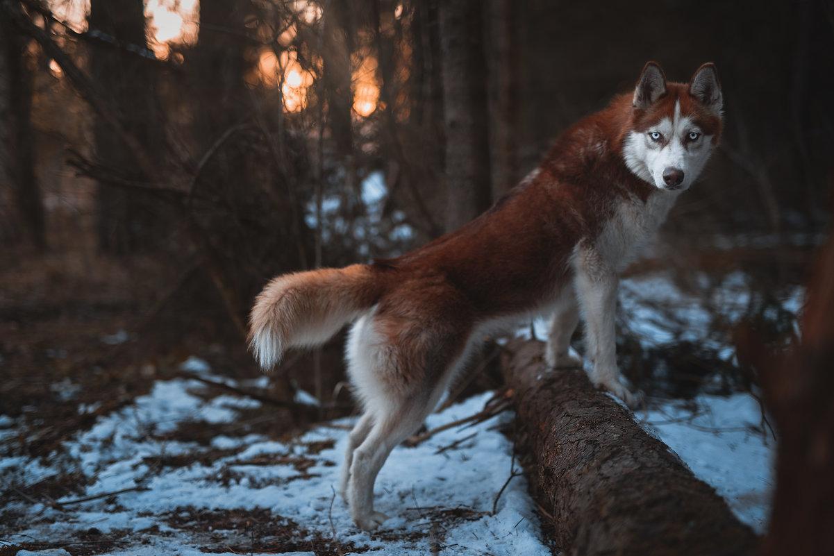 Домашний волк - Artem Mihko