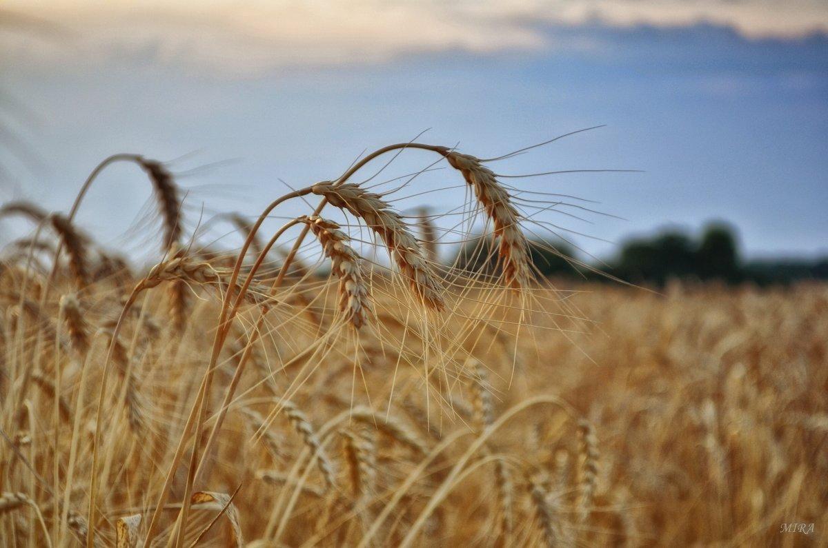 Ещё немного о лете и пшеничных полях... - *MIRA* **