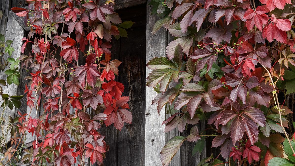 Дикий виноград фото цветок