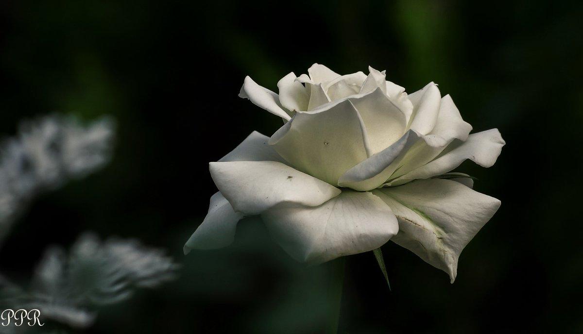 Белая роза - Павел Руденко