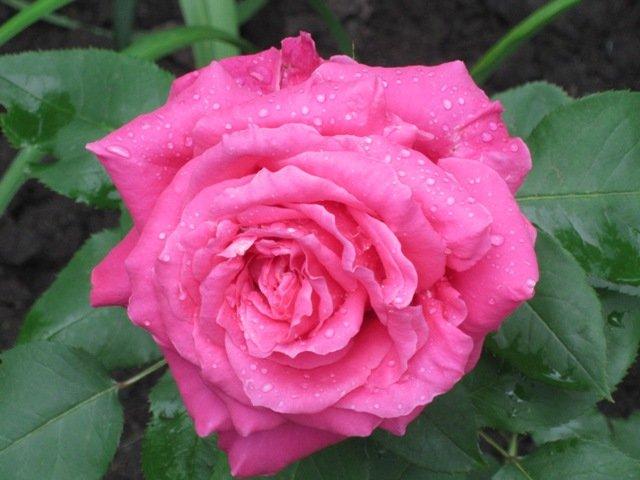 Королева цветов - Дмитрий Никитин