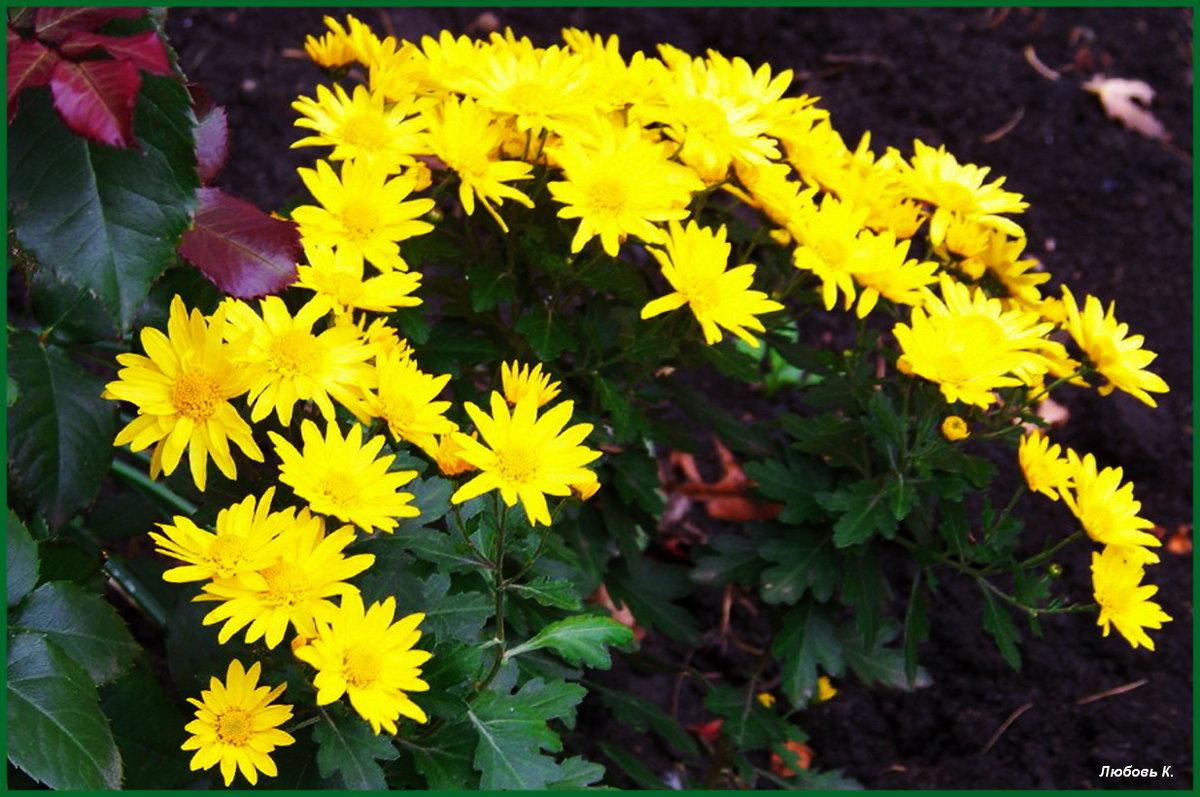 Хризантемы, хризантемы... золотой осени цветы...:) - Любовь К.