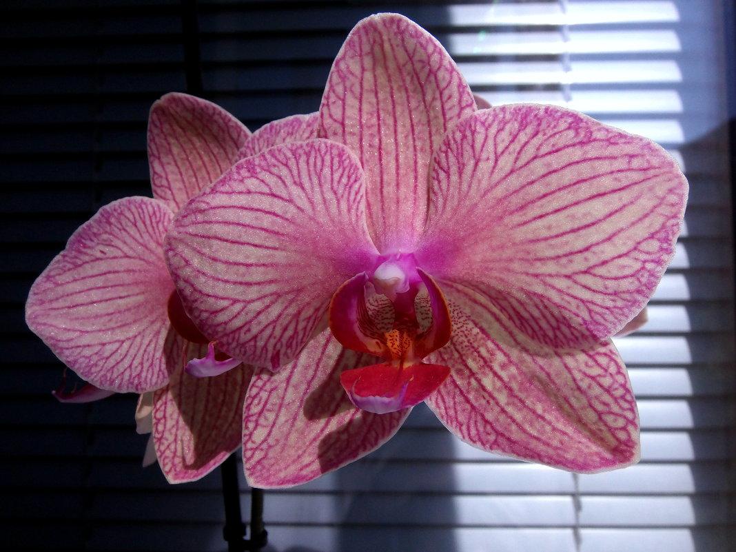 Орхидеи. - Елена